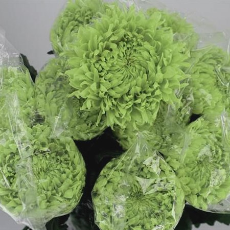 CHRYSANT SGL. GREEN WONDER