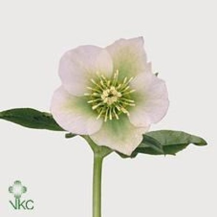 HELLEBORES CHRISTMAS GLORY
