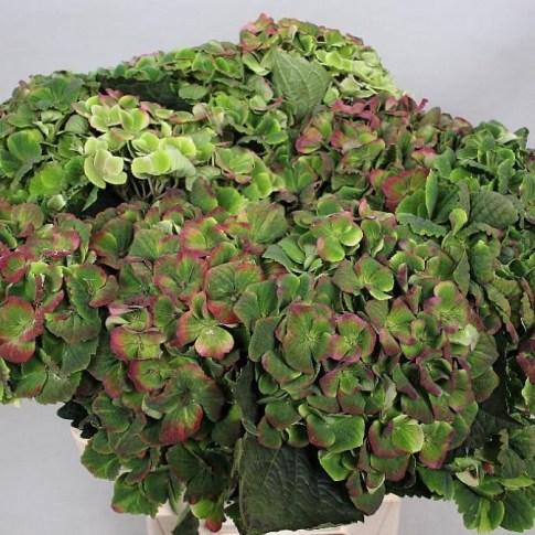 HYDRANGEA MAGICAL AMETHYST CLASSIC GREEN