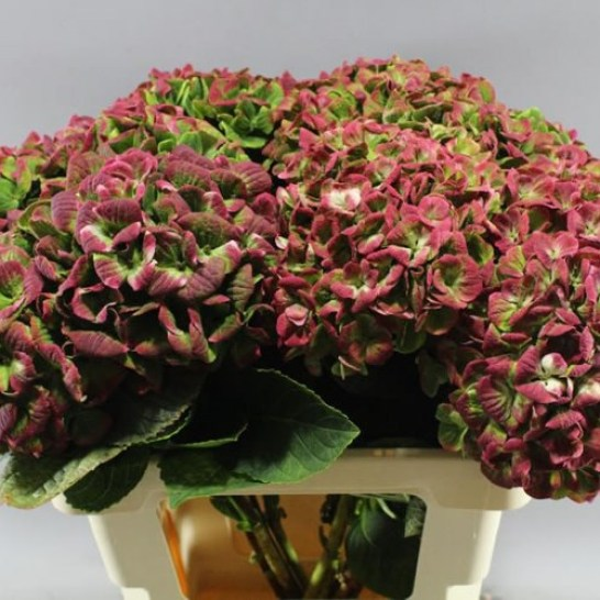 HYDRANGEA MAGICAL CORAL CLASSIC RED