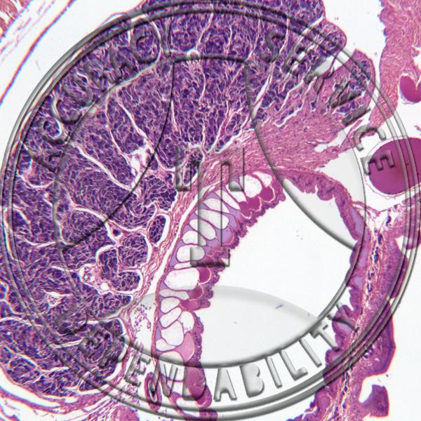 Earthworm Cross Section Seminal Vesicle Esophagus