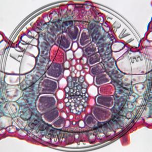 Bromus Leaf Prepared Microscope Slide