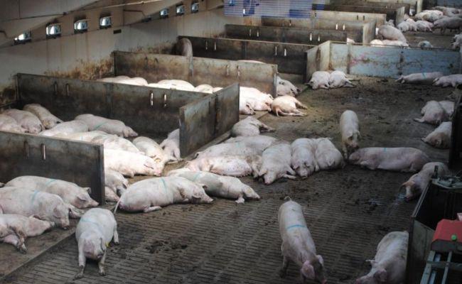 G4 Ea H1n1 Es El Nuevo Virus De La Gripe Porcina No Hay
