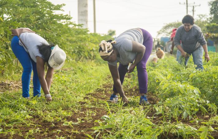 Trabajo voluntario en la agricultura en la CCS Leonor Pérez de La Lisa
