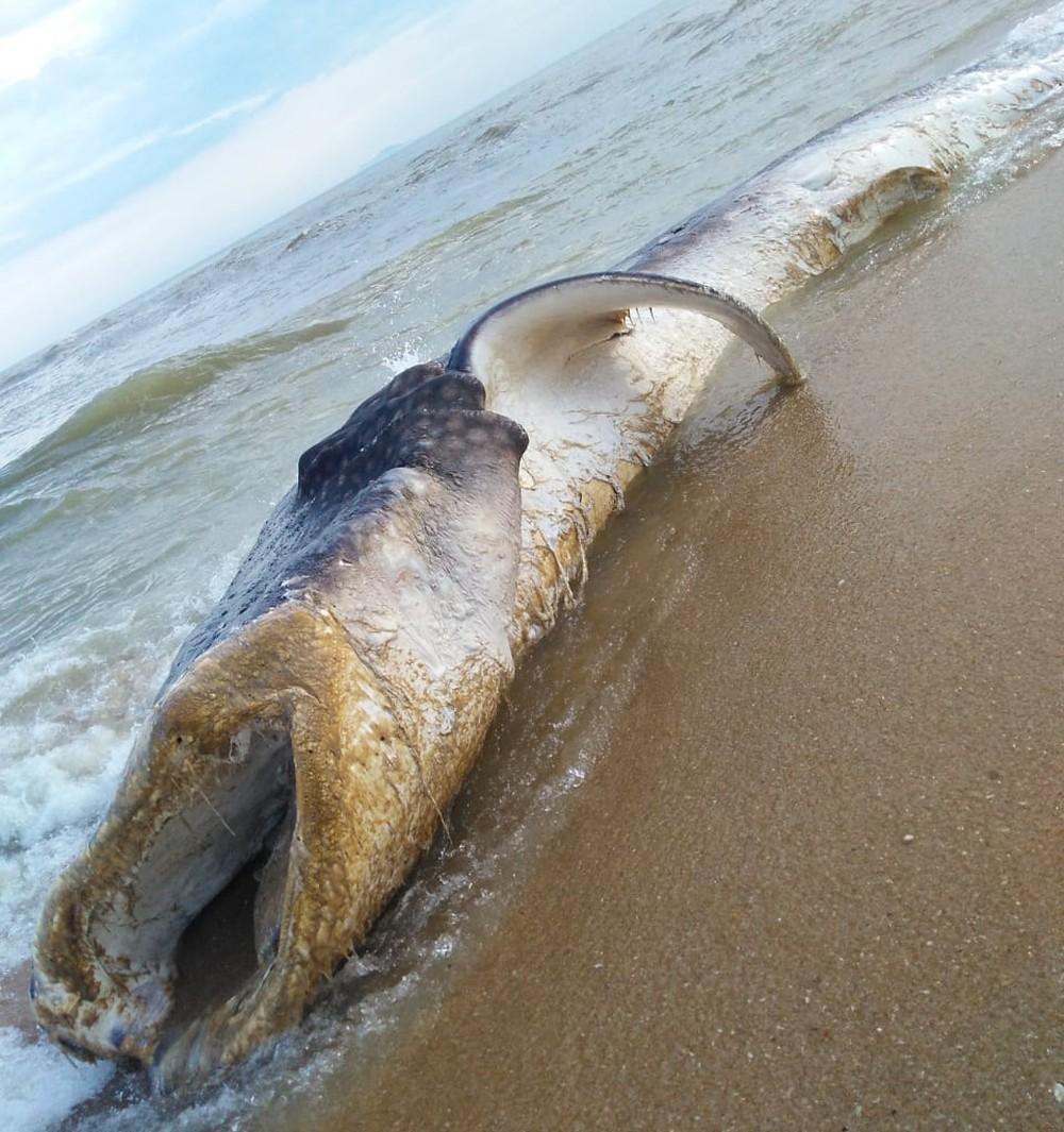 Tubarão-baleia é encontrado morto em praia de Carapebus