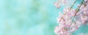 Spring shidarezakura (weeping cherry) cherry blossom with early
