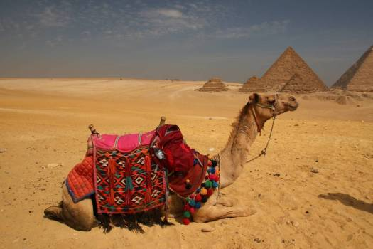Camel in Egypt on the bottom of the pyramids of Giza