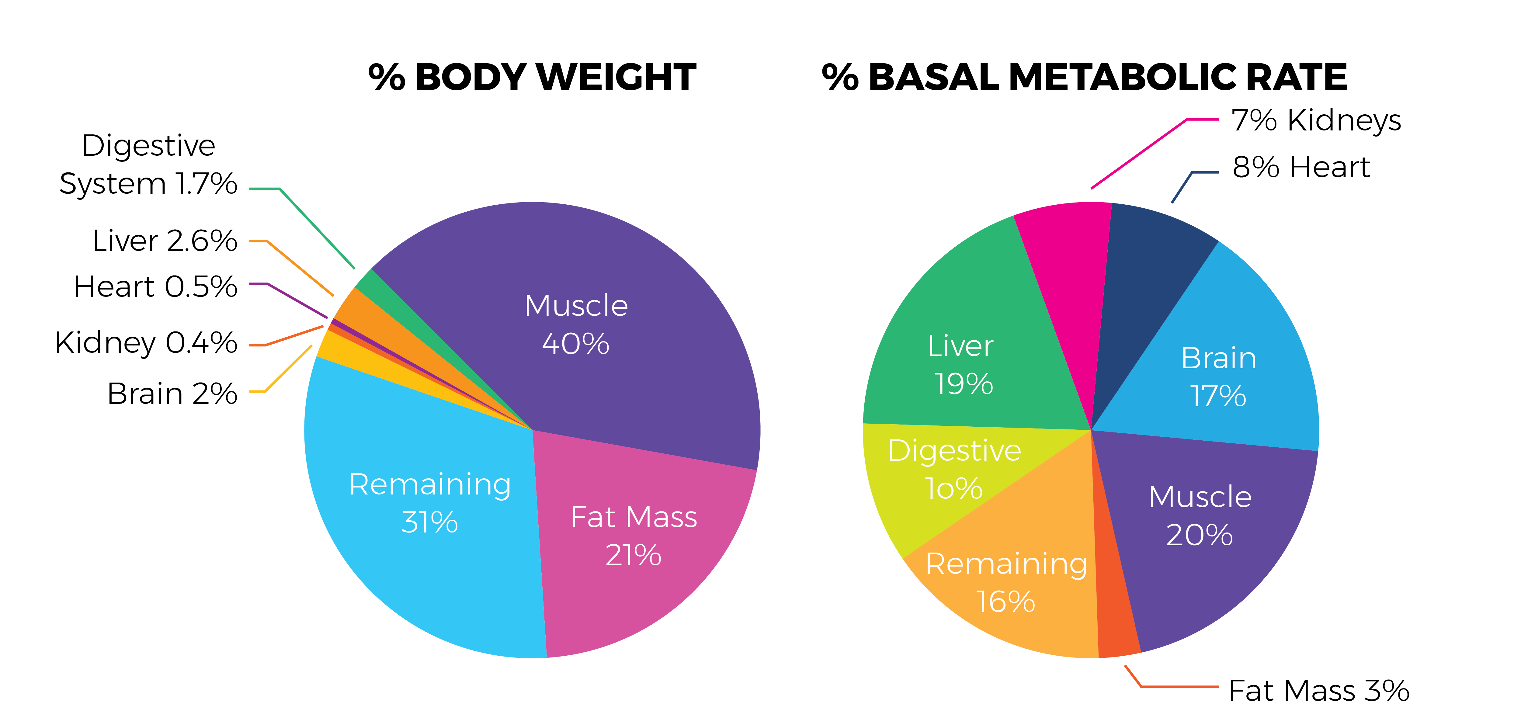 hight resolution of muscle percentage diagram