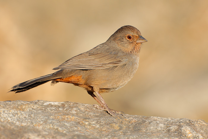 Image result for brown towhee