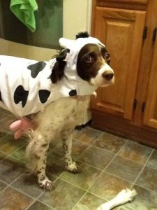 Trinity's own cow ...