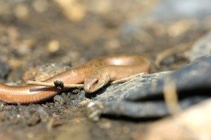 Slow worm from our garden - a good sign!