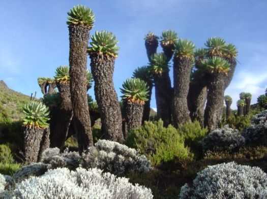 Image result for senecio kilimanjari