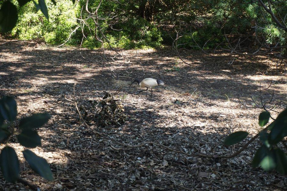 Ibis à cou noir ne vivant qu'en Australie