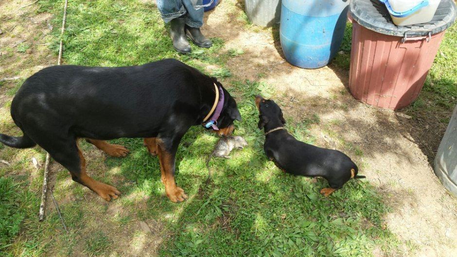 Les chiens et le rat