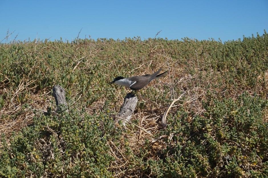 Un Bridled Tern