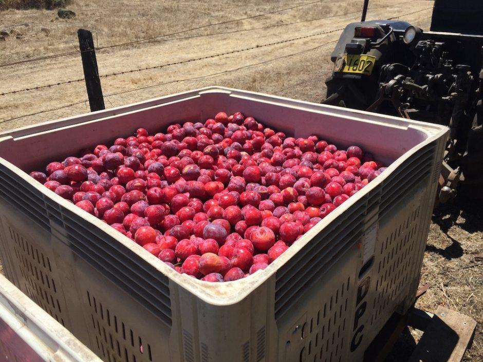 full-bin-plums
