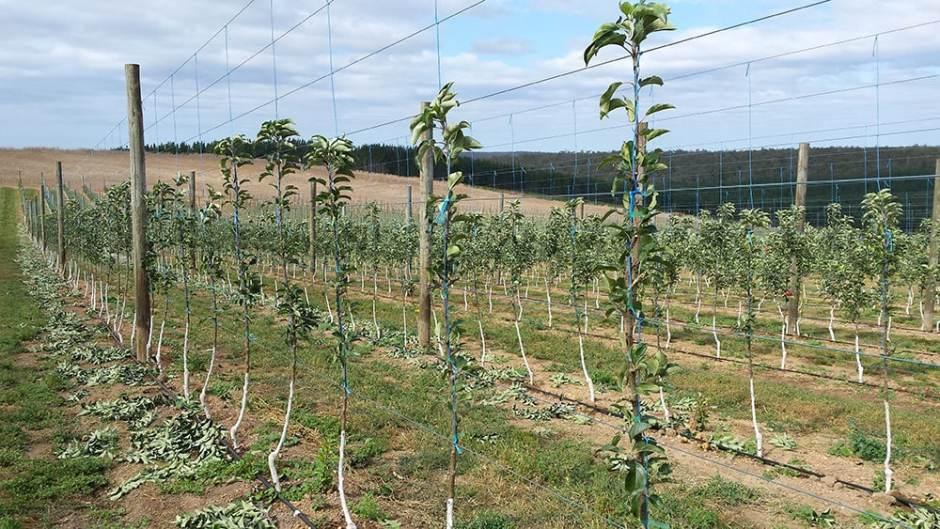 black-apple-tree-training