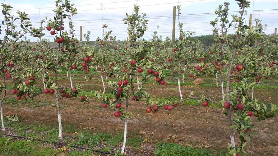 black-apple