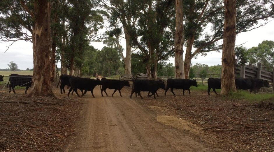 Attention, traversée de vaches