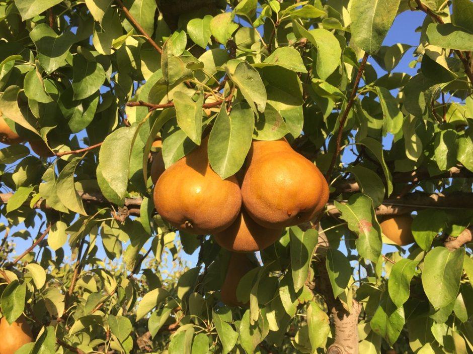 Voici cette variété de poire couleur or au soleil