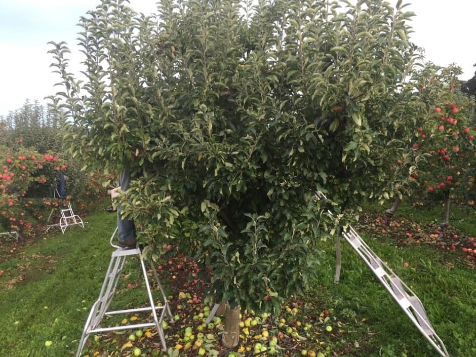 picking-granny-smith-tree