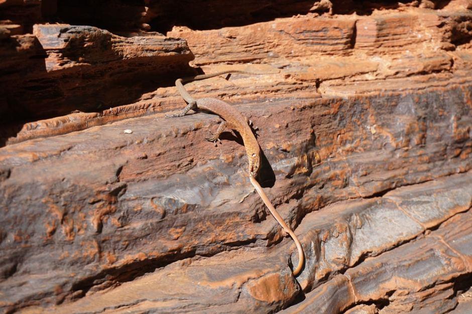 knox-gorge-snake
