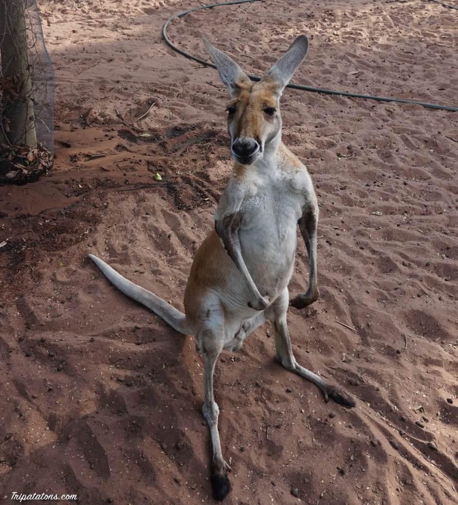 kununurra-kangaroo
