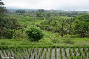 rice-terrace-jatiluwih-3
