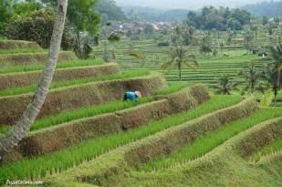 rice-terrace-jatiluwih-4
