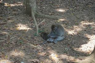 ubud-monkey-forest-3