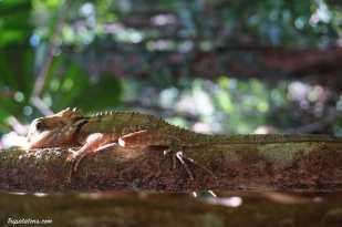 encore un reptile de la famille des iguanes