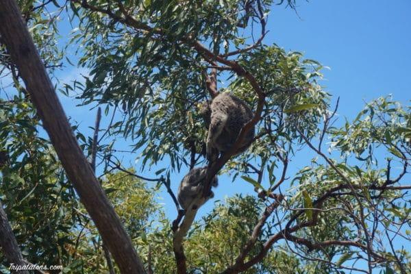 koalas-2