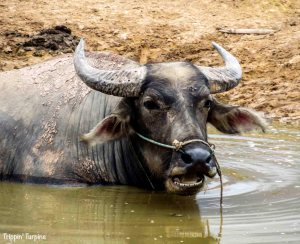 Buffalo Laos
