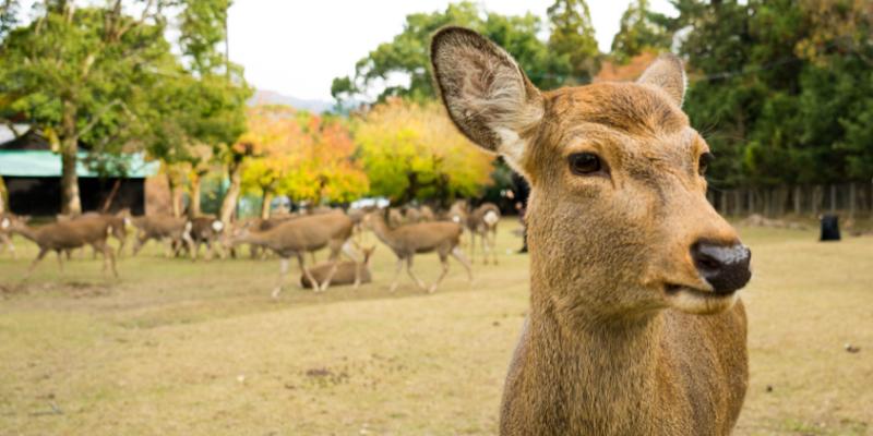 奈良與鹿同行!日本關西奈良公園必訪景點、餵鹿新規定/注意事項大揭密