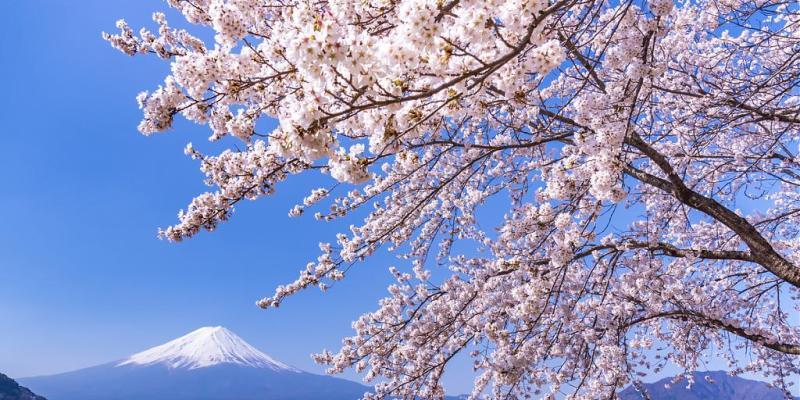 2020日本富士山櫻花季|富士山櫻花X富士山河口湖懶人包!