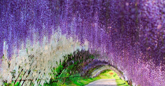 Wisteria Tunnel at Kawachi Fuji Gardens, Japan