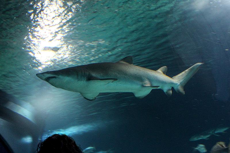 oceanografico shark