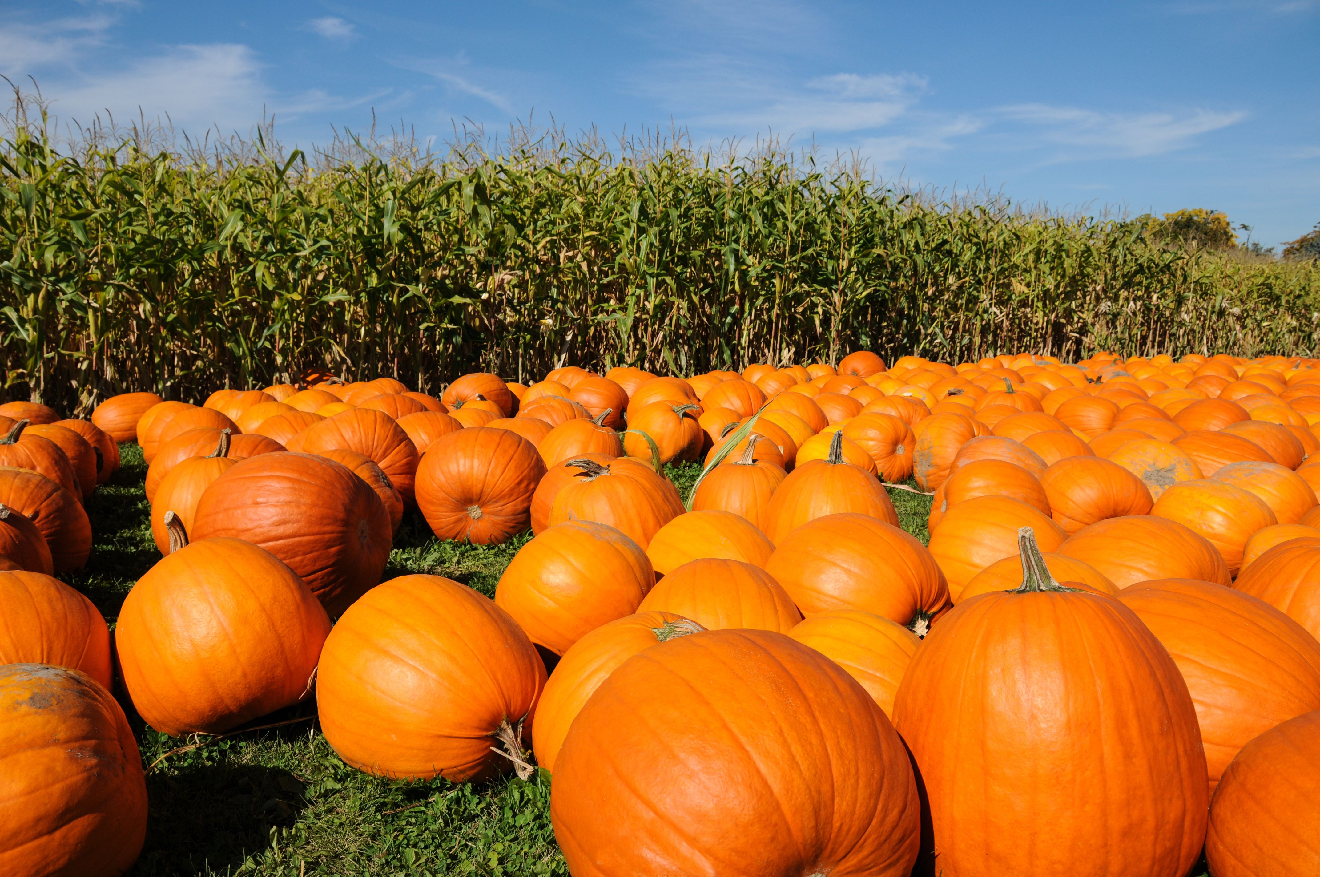 Fall Festival Wallpaper Pumpkin Farms Near Toronto