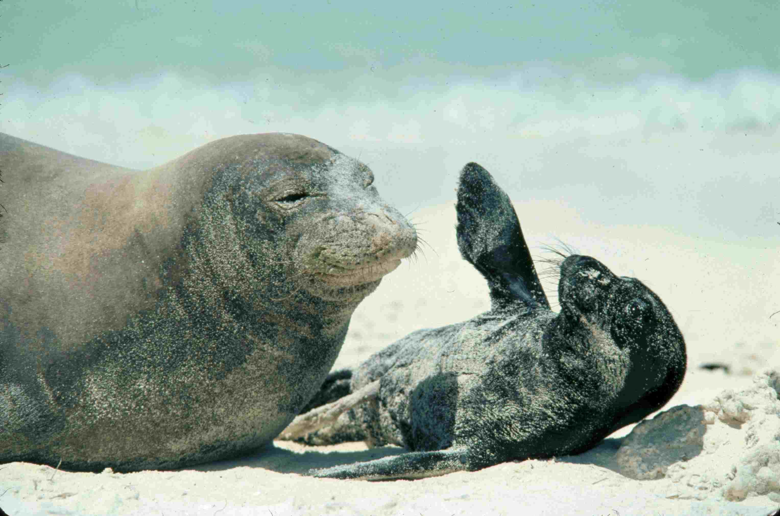 discover hawaiian monk seals