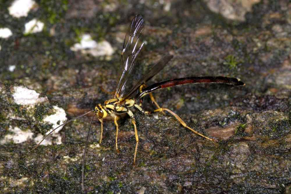 medium resolution of wasps and bees ichneumon wasp