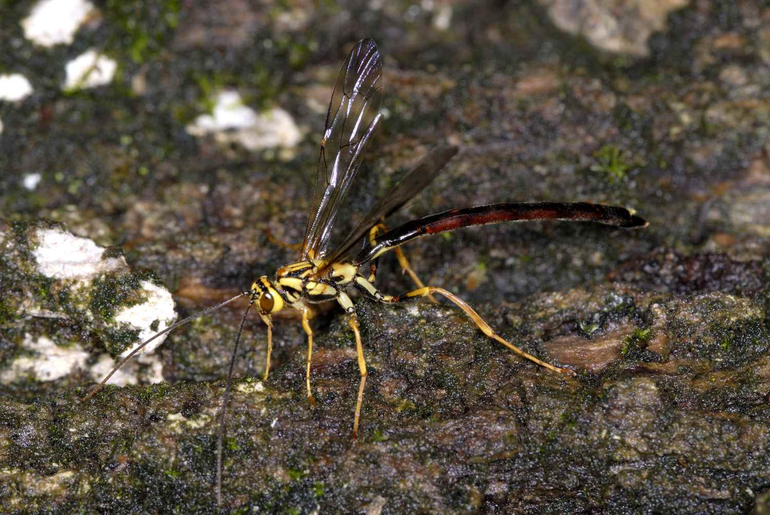 hight resolution of wasps and bees ichneumon wasp