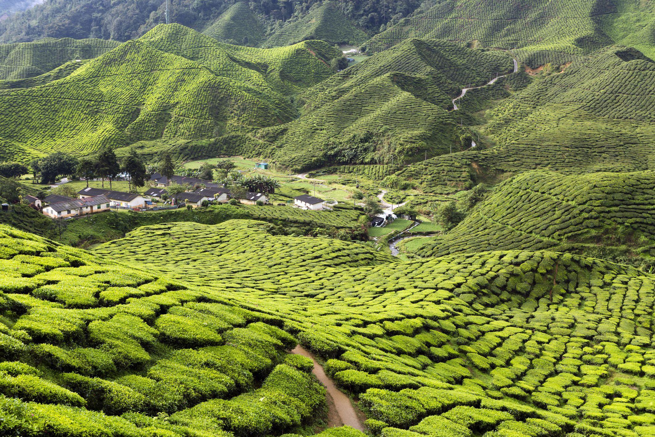 Exploring Malaysias Cameron Highlands From Tanah Rata