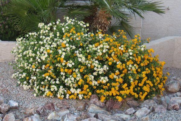 easy-growing desert plant lantana