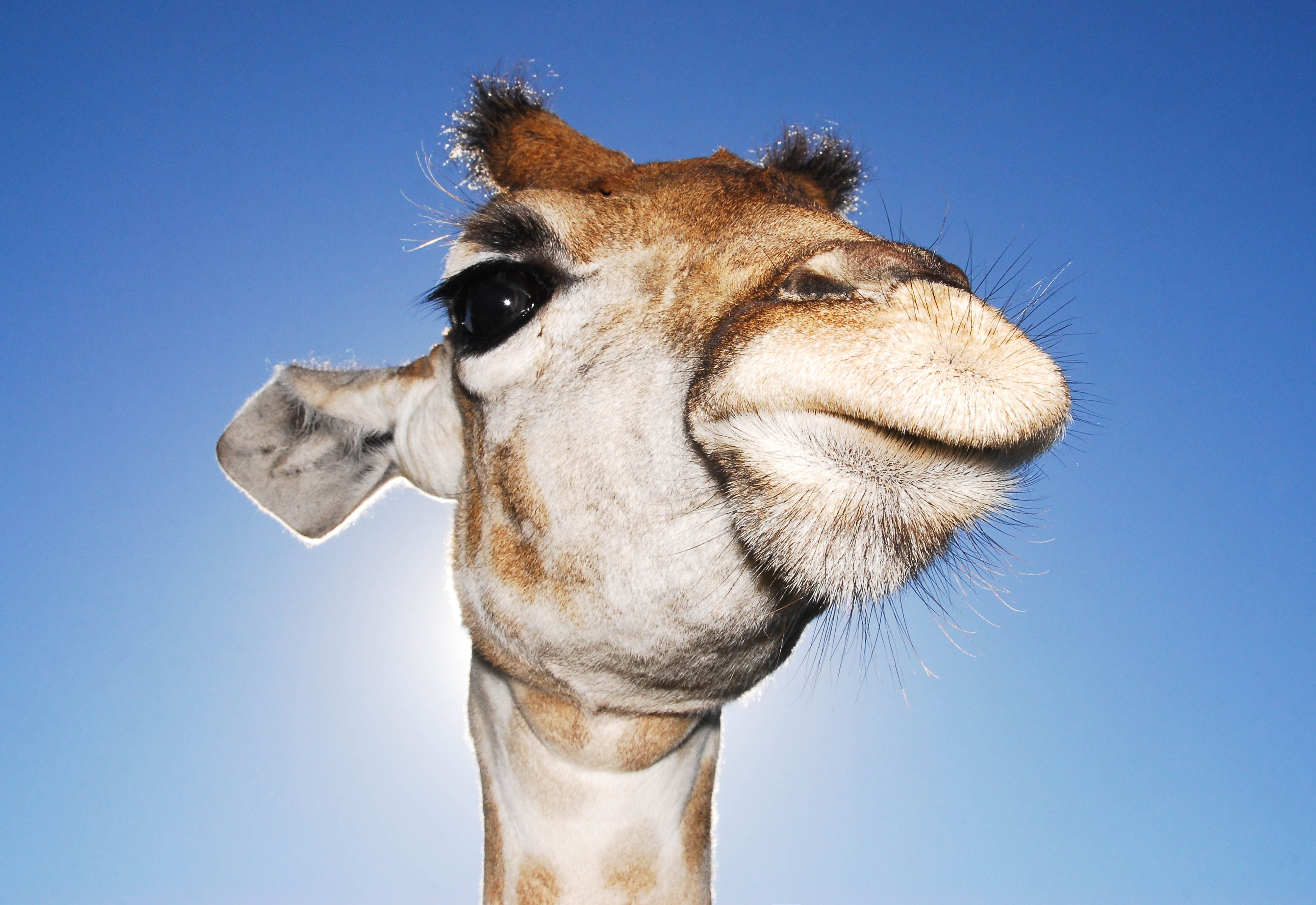 Fun Facts About African Animals The Giraffe