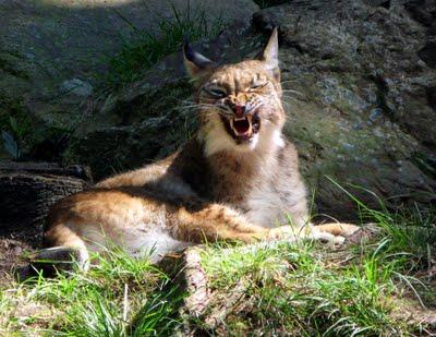 Lynx near Port Royal Nova Scotia Zoo