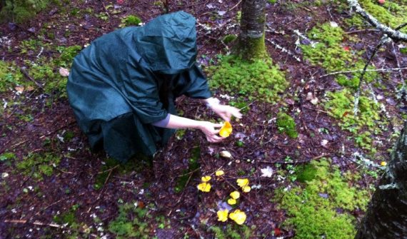 chanterelle-picking
