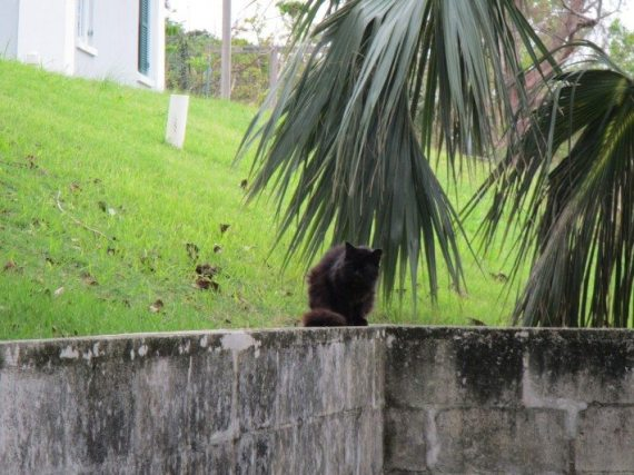 A black stray cat in Hamilton, Bermuda.