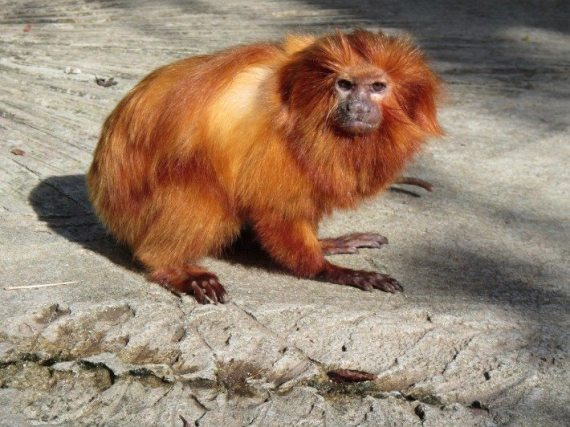 The Lion Tamarin in the Islands of the Caribbeans section of the Bermuda Zoo.