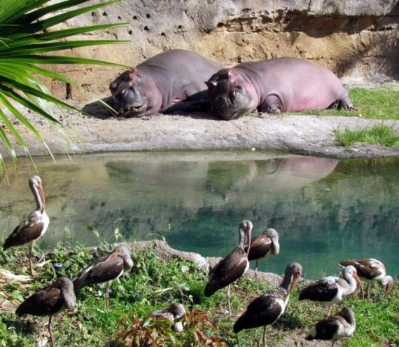 Even though it was a cool day the Hippos were able to soak up the sun as they lounged on the beach and rested their plump bodies.