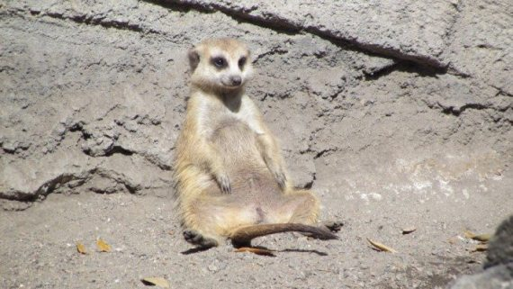 This little Meerkat  had a perfect lounging spot to just lean back and watch the day drift by. Even the Meerkats have fun at Walt Disney World!